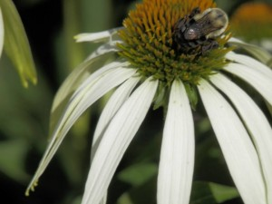 2013 July 25 - Peace garden - busy bee